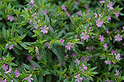 Mexican Heather (Cuphea hyssopifolia) at Rutgers Landscape & Nursery