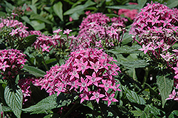 Butterfly™ Lavender Star Flower (Pentas lanceolata 'Butterfly Lavender') at Rutgers Landscape & Nursery