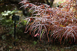 Hubb's Red Willow Japanese Maple (Acer palmatum 'Hubb's Red Willow') at Rutgers Landscape & Nursery