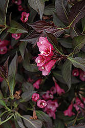 Spilled Wine® Weigela (Weigela florida 'Bokraspiwi') at Rutgers Landscape & Nursery