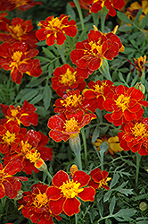 Safari Red Marigold (Tagetes patula 'Safari Red') at Rutgers Landscape & Nursery