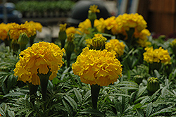 Safari Yellow Marigold (Tagetes patula 'Safari Yellow') at Rutgers Landscape & Nursery