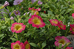 Superbells® Sweet Tart Calibrachoa (Calibrachoa 'Superbells Sweet Tart') at Rutgers Landscape & Nursery