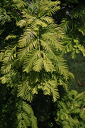 Gold Rush Dawn Redwood (Metasequoia glyptostroboides 'Gold Rush') at Rutgers Landscape & Nursery
