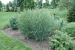 Heavy Metal Blue Switch Grass (Panicum virgatum 'Heavy Metal') at Rutgers Landscape & Nursery