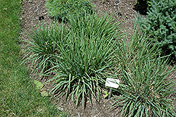 Purple Lovegrass (Eragrostis spectabilis) at Rutgers Landscape & Nursery