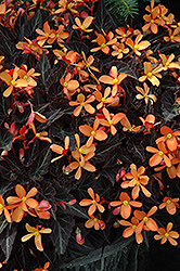 Sparks Will Fly Begonia (Begonia 'Sparks Will Fly') at Rutgers Landscape & Nursery
