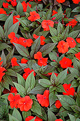 Divine™ Orange Bronze Leaf New Guinea Impatiens (Impatiens hawkeri 'Divine Orange Bronze Leaf') at Rutgers Landscape & Nursery