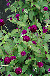 Audray Purple Red Gomphrena (Gomphrena 'Audray Purple Red') at Rutgers Landscape & Nursery