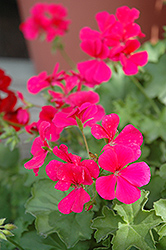 Caliente Rose Geranium (Pelargonium 'Caliente Rose') at Rutgers Landscape & Nursery