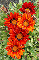 New Day Clear Red Shades (Gazania 'New Day Red Shades') at Rutgers Landscape & Nursery