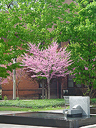Eastern Redbud (tree form) (Cercis canadensis '(tree form)') at Rutgers Landscape & Nursery
