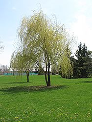 Green Weeping Willow (Salix babylonica 'Annularis') at Rutgers Landscape & Nursery