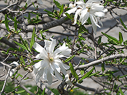 Royal Star Magnolia (Magnolia stellata 'Royal Star') at Rutgers Landscape & Nursery