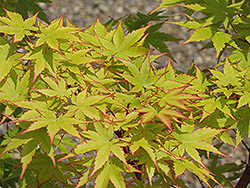 Coral Bark Japanese Maple (Acer palmatum 'Sango Kaku') at Rutgers Landscape & Nursery