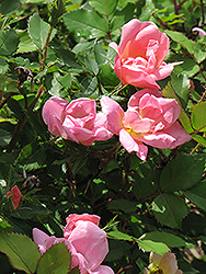 Rainbow Knock Out® Rose (Rosa 'Radcor') at Rutgers Landscape & Nursery
