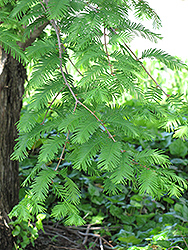 Dawn Redwood (Metasequoia glyptostroboides) at Rutgers Landscape & Nursery