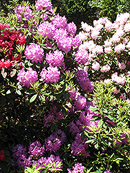 Boursault Rhododendron (Rhododendron catawbiense 'Boursault') at Rutgers Landscape & Nursery