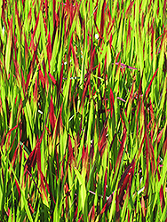 Red Baron Japanese Blood Grass (Imperata cylindrica 'Red Baron') at Rutgers Landscape & Nursery