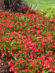 Dragon Wing Red Begonia (Begonia 'Dragon Wing Red') at Rutgers Landscape & Nursery