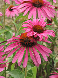 Ruby Star™ Coneflower (Echinacea purpurea 'Rubinstern') at Rutgers Landscape & Nursery