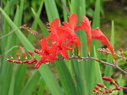 Lucifer Crocosmia (Crocosmia 'Lucifer') at Rutgers Landscape & Nursery