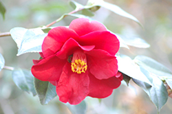 Ice Angels® Spring's Promise Camellia (Camellia japonica 'Spring's Promise') at Rutgers Landscape & Nursery