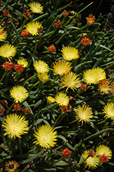 Yellow Ice Plant (Delosperma nubigenum) at Rutgers Landscape & Nursery