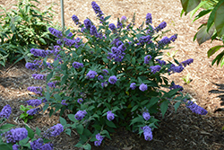 Lo And Behold® Blue Chip Dwarf Butterfly Bush (Buddleia 'Lo And Behold Blue Chip') at Rutgers Landscape & Nursery