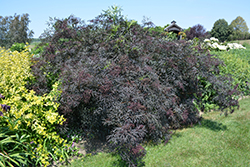 Black Lace® Elder (Sambucus nigra 'Eva') at Rutgers Landscape & Nursery