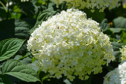 Incrediball® Hydrangea (Hydrangea arborescens 'Abetwo') at Rutgers Landscape & Nursery