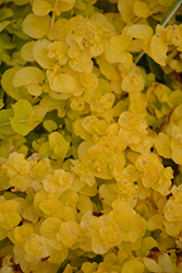 Goldilocks Creeping Jenny (Lysimachia nummularia 'Goldilocks') at Rutgers Landscape & Nursery