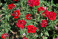 Double Wave Red Petunia (Petunia 'Double Wave Red') at Rutgers Landscape & Nursery