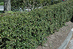 Dragon Lady Holly (Ilex x aquipernyi 'Meschick') at Rutgers Landscape & Nursery
