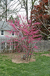 Appalachian Red Redbud (Cercis canadensis 'Appalachian Red') at Rutgers Landscape & Nursery