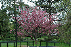 Royal Burgundy Flowering Cherry (Prunus serrulata 'Royal Burgundy') at Rutgers Landscape & Nursery