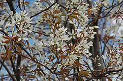 Autumn Brilliance Serviceberry (Amelanchier x grandiflora 'Autumn Brilliance (tree form)') at Rutgers Landscape & Nursery