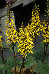 Little Rocket Rayflower (Ligularia 'Little Rocket') at Rutgers Landscape & Nursery