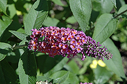 Bicolor Butterfly Bush (Buddleia x weyeriana 'Bicolor') at Rutgers Landscape & Nursery