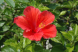 Red Hibiscus (Hibiscus rosa-sinensis 'Red') at Rutgers Landscape & Nursery