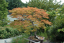 Baldsmith Japanese Maple (Acer palmatum 'Baldsmith') at Rutgers Landscape & Nursery