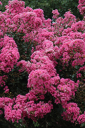 Crapemyrtle (Lagerstroemia indica) at Rutgers Landscape & Nursery