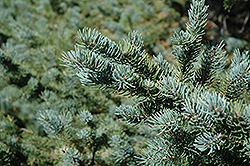 White Spruce (Picea glauca) at Rutgers Landscape & Nursery