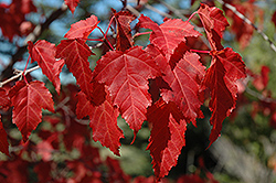 Amur Maple (Acer ginnala) at Rutgers Landscape & Nursery