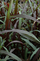 First Knight Fountain Grass (Pennisetum purpureum 'First Knight') at Rutgers Landscape & Nursery