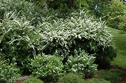Snowmound Spirea (Spiraea nipponica 'Snowmound') at Rutgers Landscape & Nursery