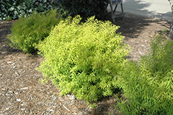 Mellow Yellow Spirea (Spiraea thunbergii 'Mellow Yellow') at Rutgers Landscape & Nursery