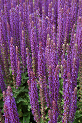 East Friesland Sage (Salvia nemorosa 'East Friesland') at Rutgers Landscape & Nursery