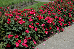 Knock Out® Rose (Rosa 'Radrazz') at Rutgers Landscape & Nursery