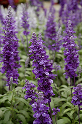 Cathedral™ Deep Blue Salvia (Salvia farinacea 'Cathedral Deep Blue') at Rutgers Landscape & Nursery